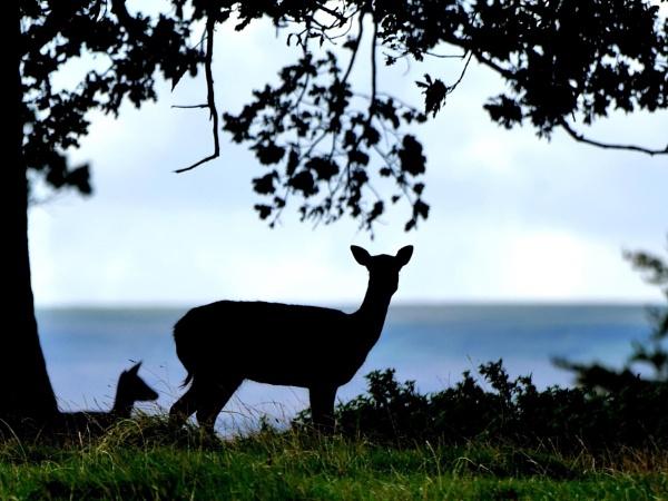 Fallow deer by DerekHollis