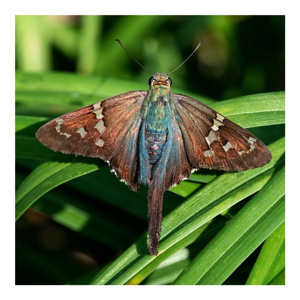 Long-tailed Skipper by taggart