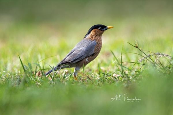 Brahminy Starling by Pari56