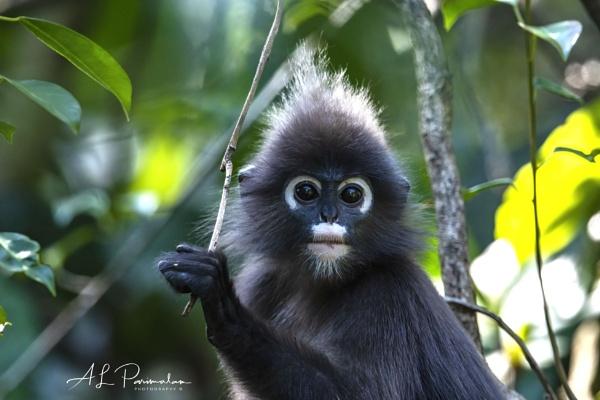 Dusky Leaf Monkey by Pari56