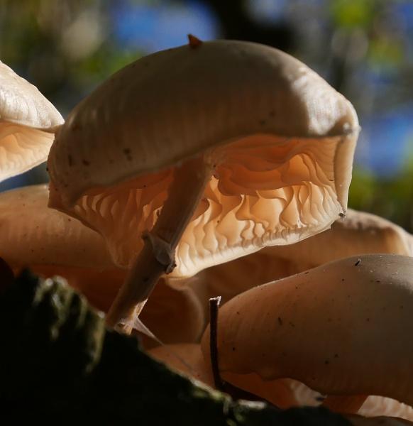Porcelain Fungi by Backabit