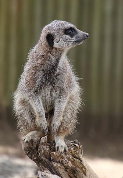 Meerkat by loves2travel