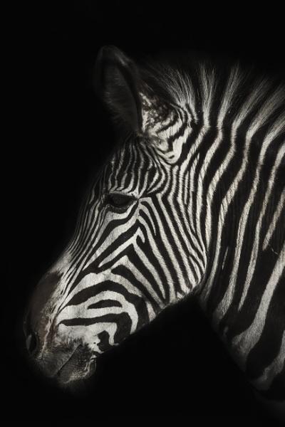 Zebra by DBoardman