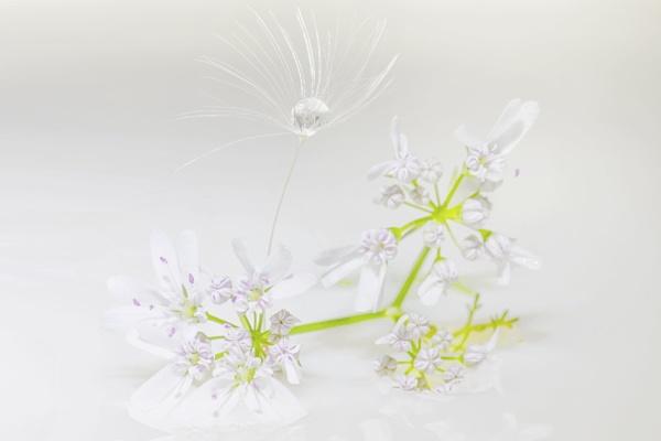 Coriander flower and Dandelion seed by Saastad