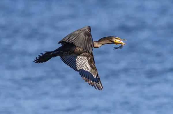 Cormorant by TDP43