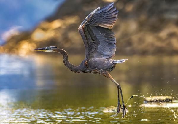 Great Blue Heron by TDP43