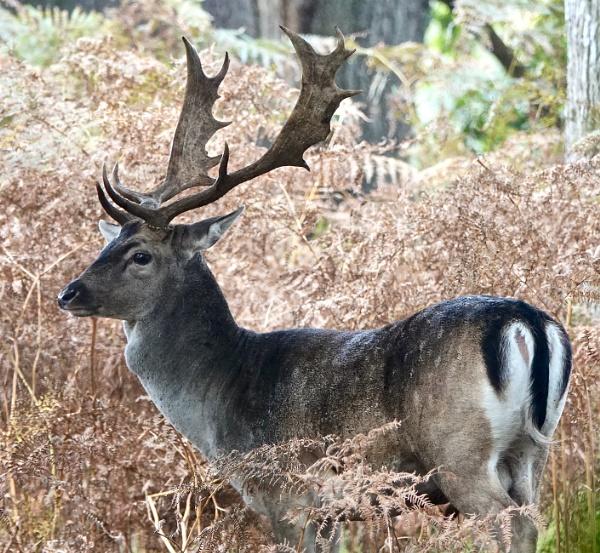 Fallow Stag Deer. by Debmercury