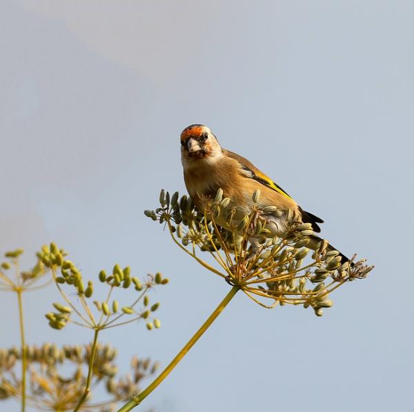 Goldfinch on a fennel seed head by royd63uk