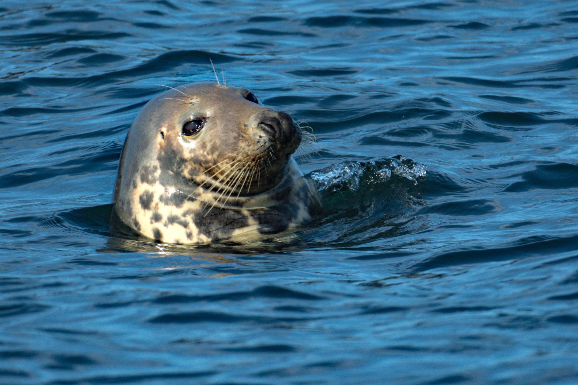 Farne Islands Seal.