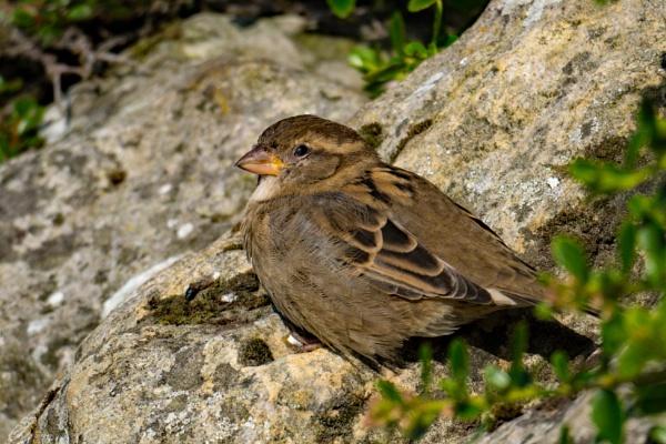 Holy Island Sparrow by terra