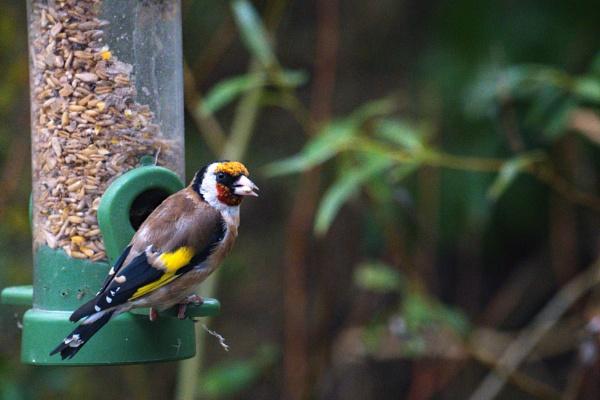 Goldfinch. by terra