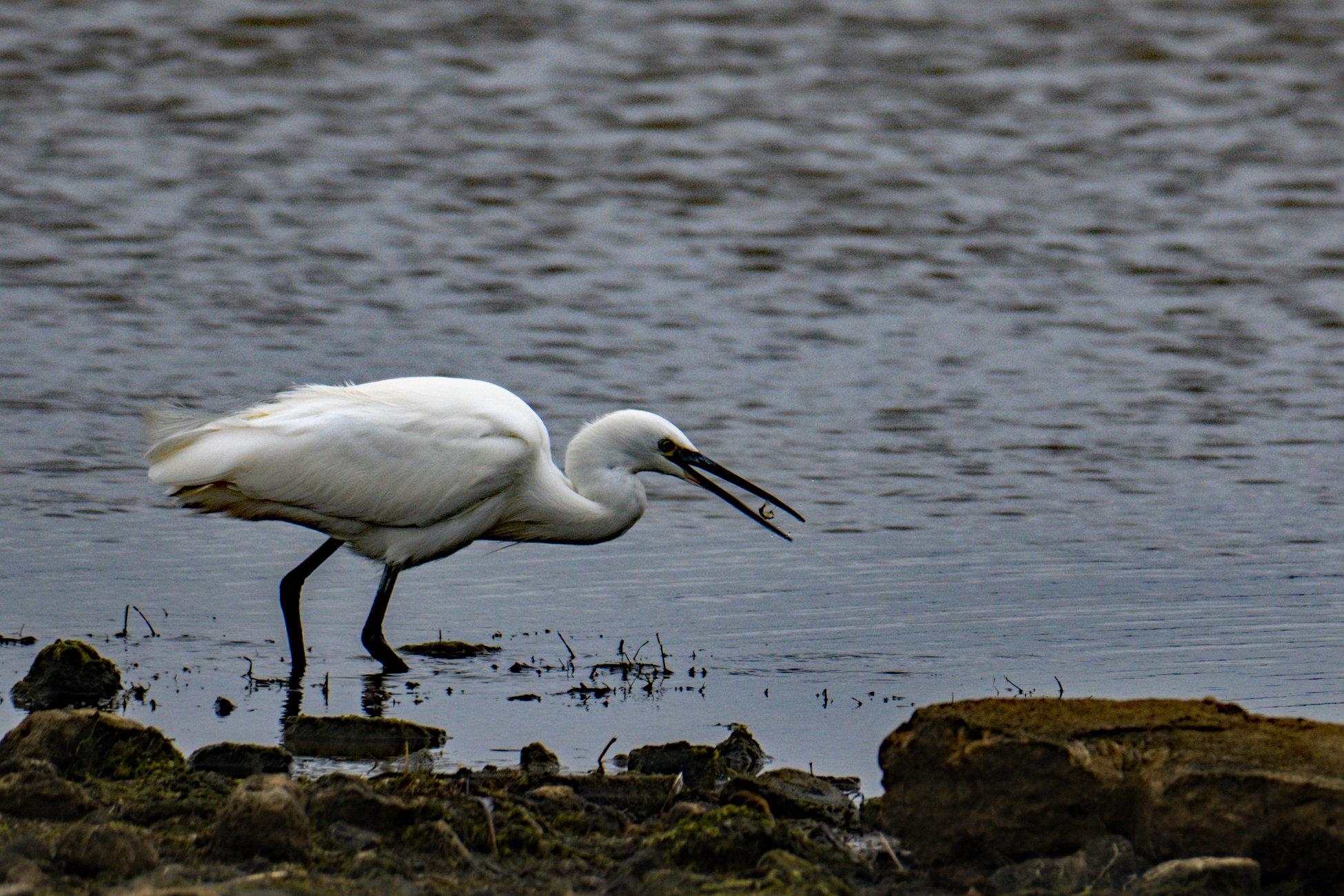 Little Egret eating lunch.
