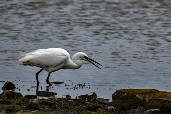 Little Egret eating lunch. by terra