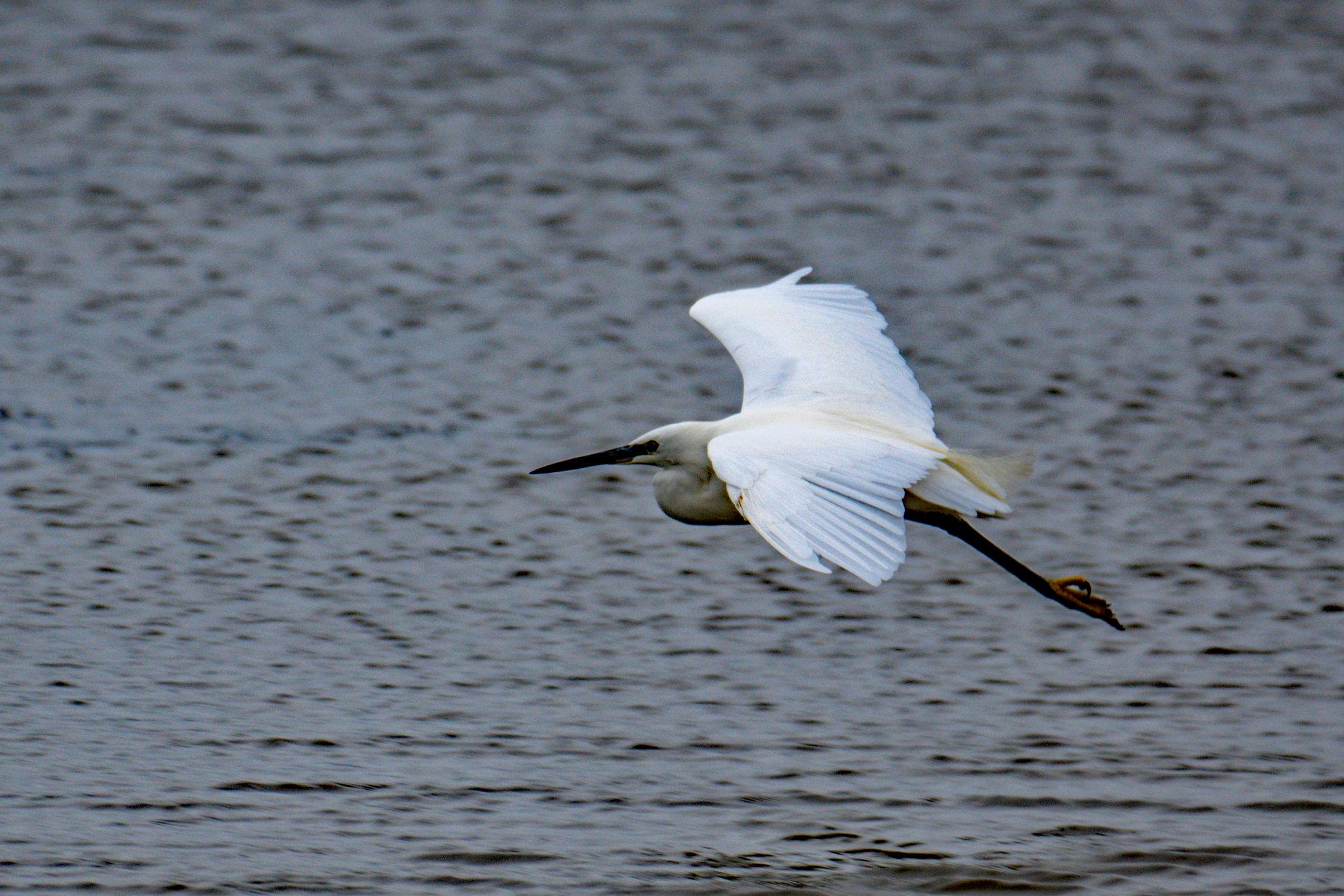 Little Egret taking off.