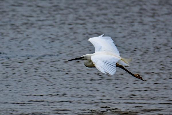 Little Egret taking off. by terra