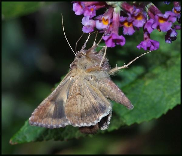 A Silver Y Moth ### by Badgerfred