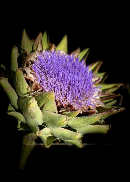 """""""Artichoke Flower"""" by Willmer"""