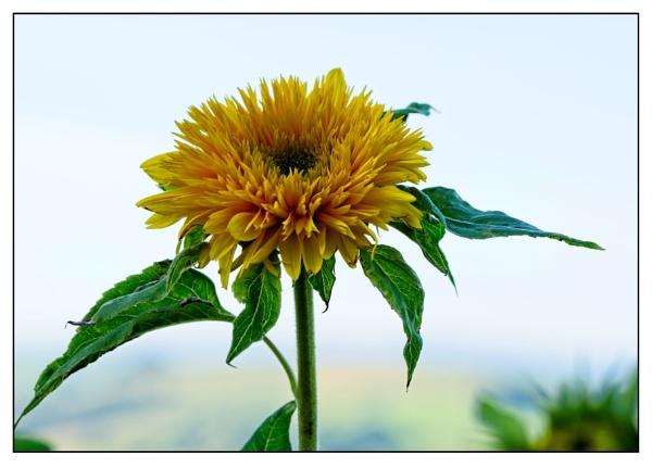 """""""Sunflower"""" by Willmer"""