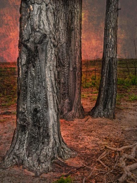 Burned Thursley Common Trees by Shamley