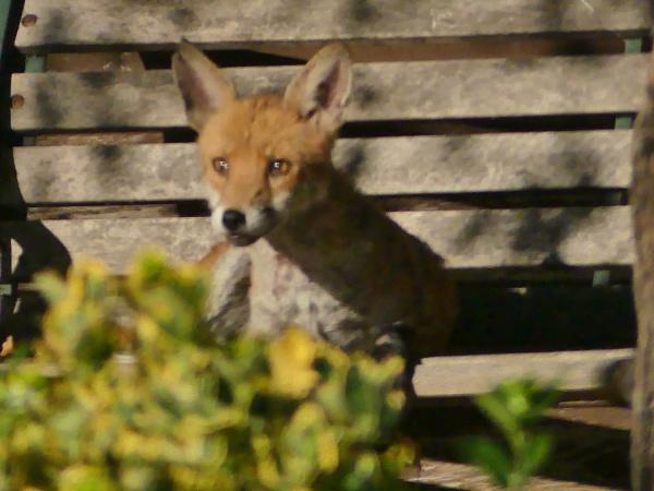 Fox in the Garden by Peejayem