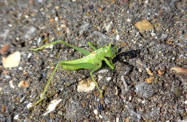 Oak Bush-cricket by TonyDy