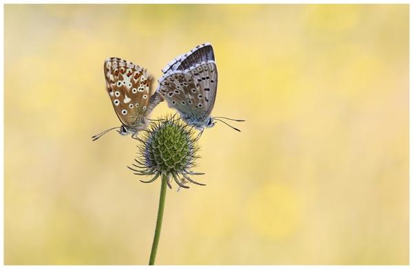 Chalk-Hill Blues - Lysandra coridon. by NigelKiteley