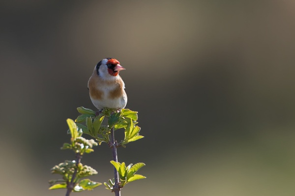 Goldfinch (Carduelis carduelis) by Ray_Seagrove