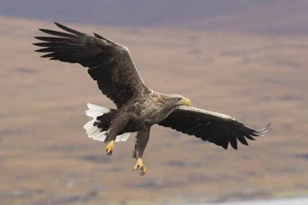 White-Tailed Eagle by dave37