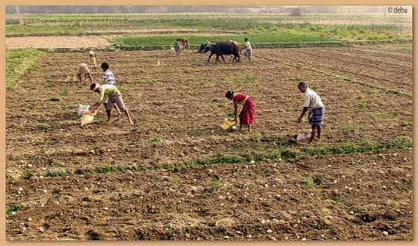 From_Kolkata # 116 Farmer Farming Potato in Bankura,West Bengal,India. by debu