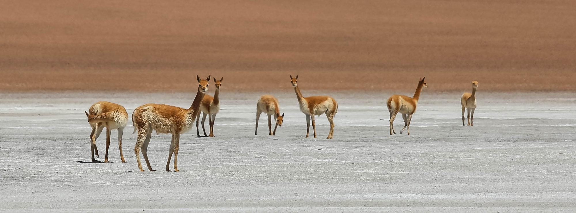 Atacama Alpacas