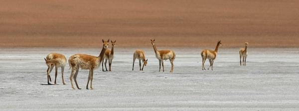 Atacama Alpacas by mammarazzi