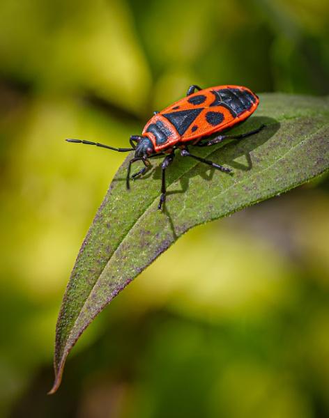 Firebug by chavender