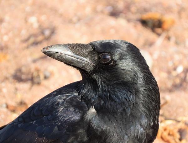 Teignmouth Beach Crow by JanOByrne