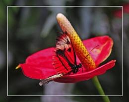 A Postman Butterfly (Heliconius melpomene)  (best viewed large)