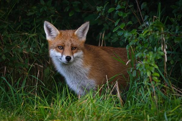 Peeping Fox by BydoR9