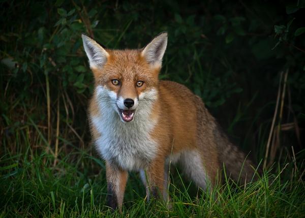 Emerging Fox by BydoR9