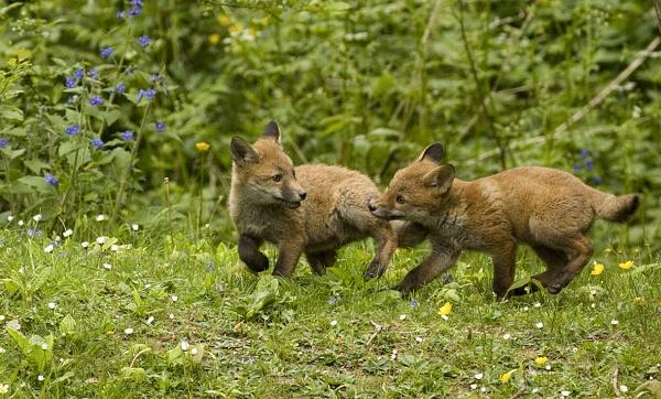 Fox cubs playing by hibbz