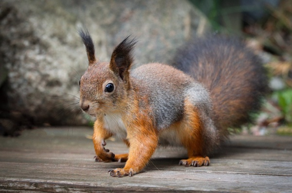 Squirrels - 2. by Jukka
