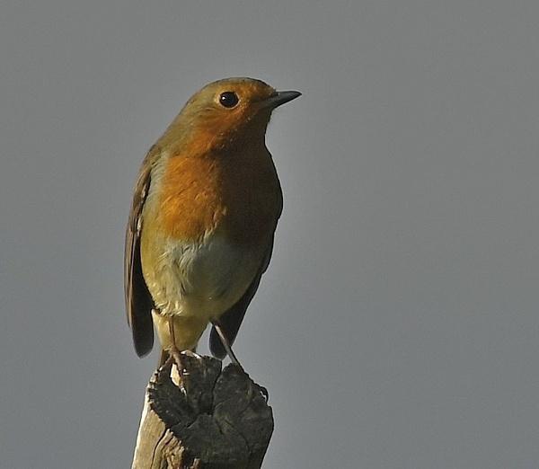 Robin by nealie
