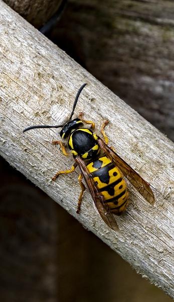 Wasp by Tobytoes