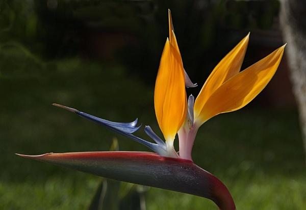 Bird of Paradise flower by Steveo28