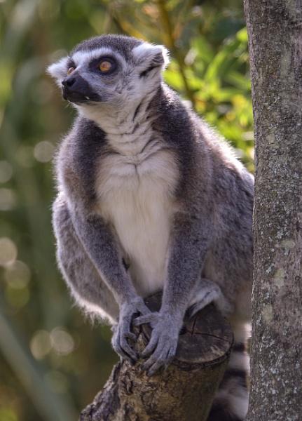 Lemur by rickie