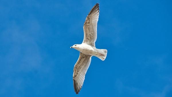 Gull in flight by hawkes01