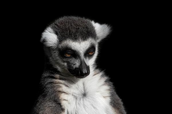 Lemur 1 by TornadoTys