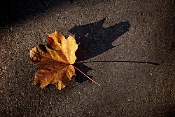 maple shadow by leo_nid