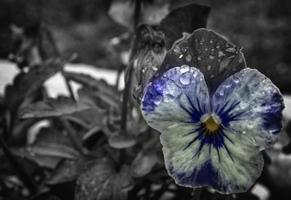 wet, color popped pansy by bornstupix2