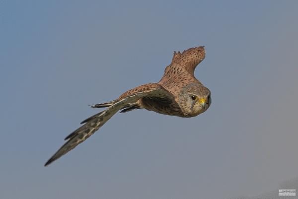 Kestrel in flight by LighthousePhotography