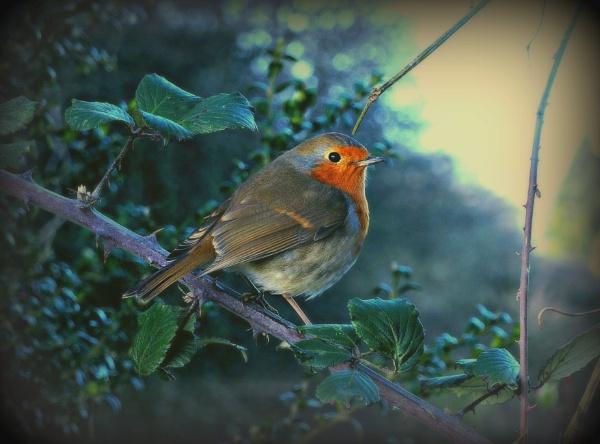Robin by niknakpaddywhack
