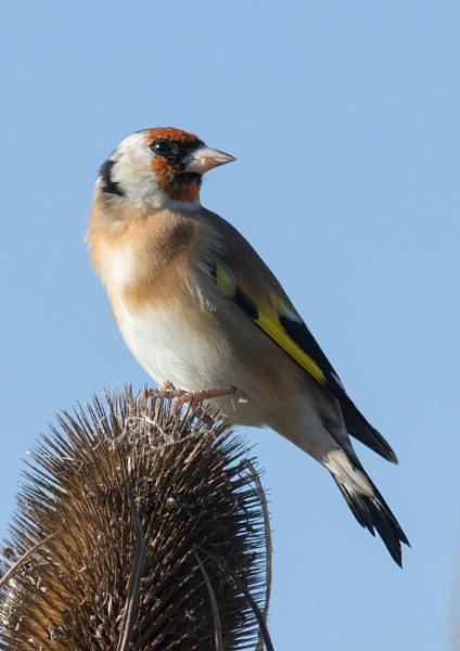 Goldfinch on teasel by oldgreyheron