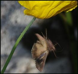 Silver Y Moth in Flight #